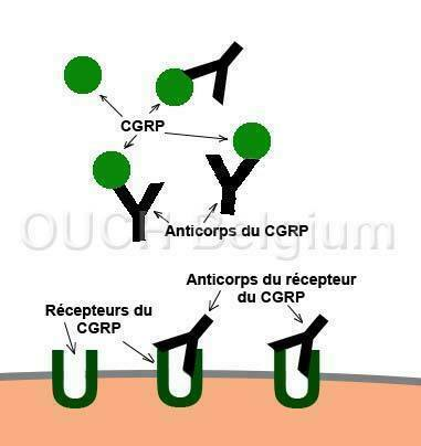 Types d'anticorps du CGRP